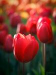 Red tulip web